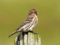 69-common-redpoll-
