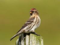 70common-redpoll-