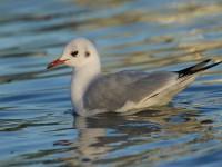 72-black-headed-gull-