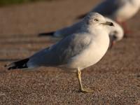 73-ring-billed-gull-