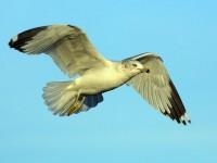 74-ring-billed-gull-