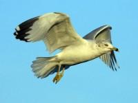 75-ring-billed-gull-