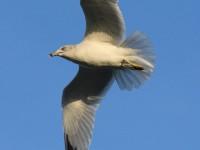76-ring-billed-gull-