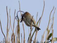 common-rosefinch