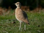 Cream-coloured Courser - Isles of Scilly - 2nd Oct 2004