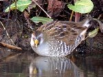 Sora Rail, Nottinghamshire - 12th Dec 2004