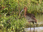 Glossy Ibis - First in Derbyshire since 1923 - 18th September 2006
