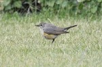 A Mega in Cleveland - White-throated Robin - 7th June 2011