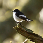 Pied Flycatchers - what a muddle!! - 13th May 2012
