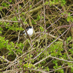 Probable Atlas Flycatcher - 2nd May 2012