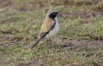 An Over-wintering Desert Wheatear - 28th January 2012