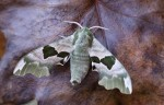 An Early Hawkmoth - Saturday, 9 April 2011