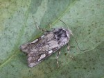 First Moth Trap of the Year - Tuesday 22nd March 2011 - 8 species for year