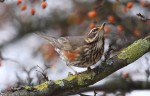 Redwings Brighten up a Grey Day - 12th February 2012