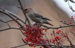 The first Waxwings for 2012 - 7th January 2012