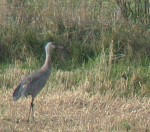 Sandhill Crane - a 3rd Record for Britain - 26th Sept 2009