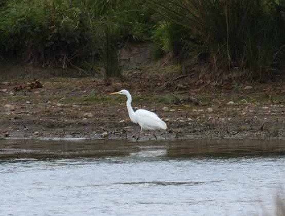 Great White Egret - Carsington Water, Derbyshire
