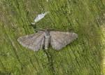 70.154 BF1822 - Marsh Pug - Geometridae - Eupithecia pygmaeata
