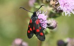 54.009 BF0171 - Narrow-bordered Five-spot Burnet - Zygaenidae - Zygaena lonicerae