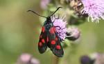 54.009 BF0171 - Narrow-bordered Five-spot Burnet - Zygaenidae - Zygaena lonicerae