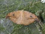 65.005 BF1648 - Pebble Hook-tip - Drepanidae - Drepana falcataria