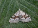 70.054 BF1727 - Silver-ground Carpet - Geometridae - Xanthorhoe montanata