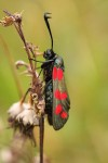 54.008 BF0169 - Six-spot Burnet - Zygaenidae - Zygaena filipendulae