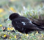A Black Lark in Anglesey - 3rd June 2003