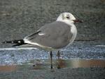Laughing Gull - Porthmadog, Gwynedd - 5th Mar 2006