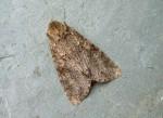 73.261 BF2150 - Grey Arches - Noctuidae - Polia nebulosa