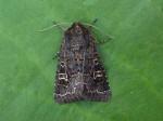 73.252 BF2177 - Hedge Rustic - Noctuidae - Tholera cespitis