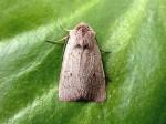 73.355 BF2132 - Neglected Rustic - Noctuidae - Xestia castanea