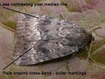 73.063 BF2298 - Svensson's Copper Underwing - Noctuidae - Amphipyra berbera