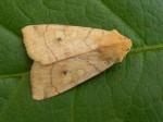 73.211 BF2313 - Angle-striped Sallow - Noctuidae - Enargia paleacea