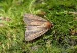 73.141 BF2371 - Brown-veined Wainscot - Noctuidae - Archanara dissoluta