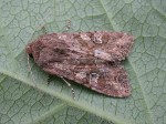 73.157 BF2333 - Large Nutmeg - Noctuidae - Apamea anceps
