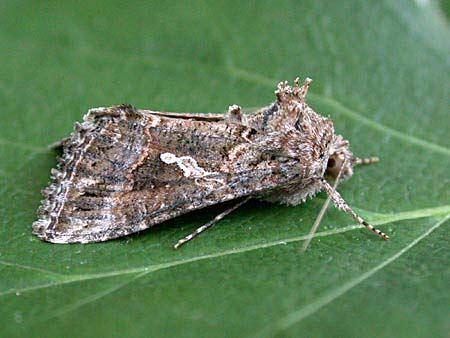 73 003 BF2432 - Ni Moth - Noctuidae - Trichoplusia ni