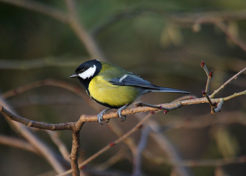 Great-Tit-69992267