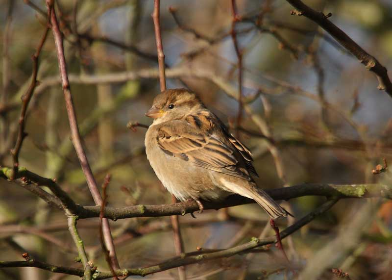 House-Sparrow-1st winter female
