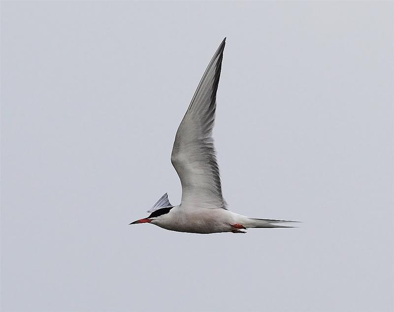 Common-Tern-11613041