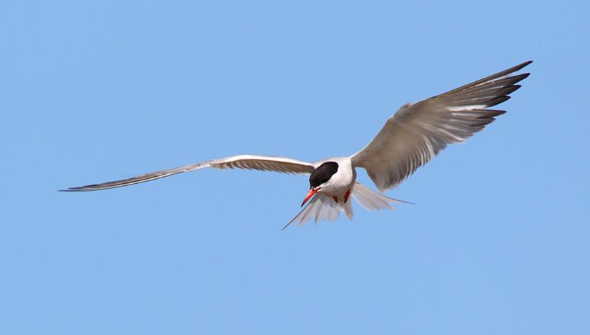 Common-Tern-14093035