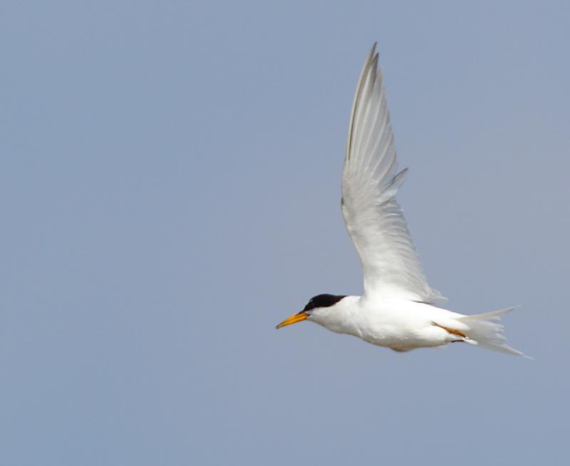 Little-Tern-12883020