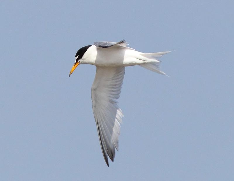 Little-Tern-12923030