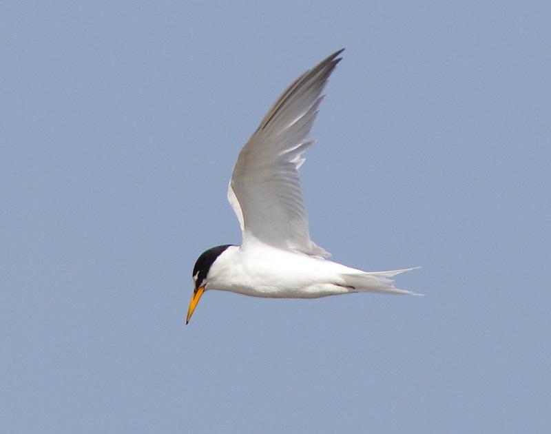 Little-Tern-12933017