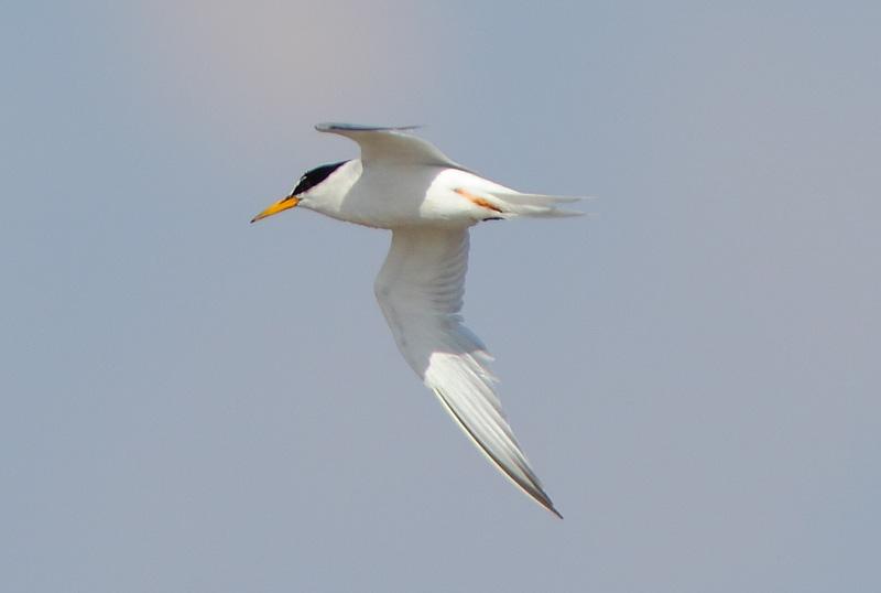 Little-Tern-13063018