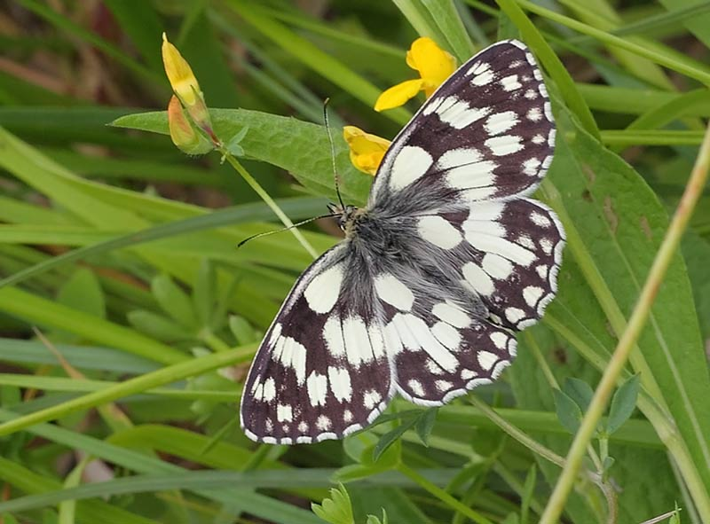 Marbled-White-10612961