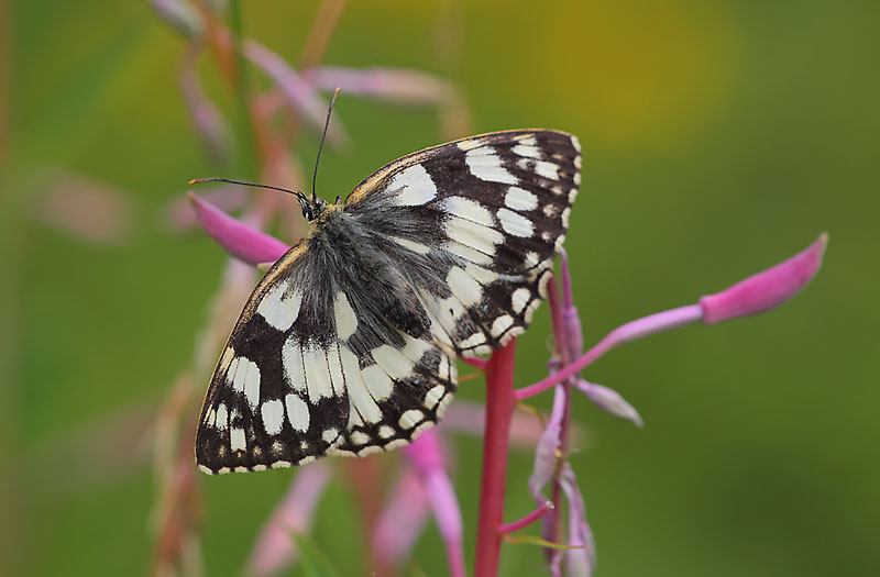 Marbled-White-10942966