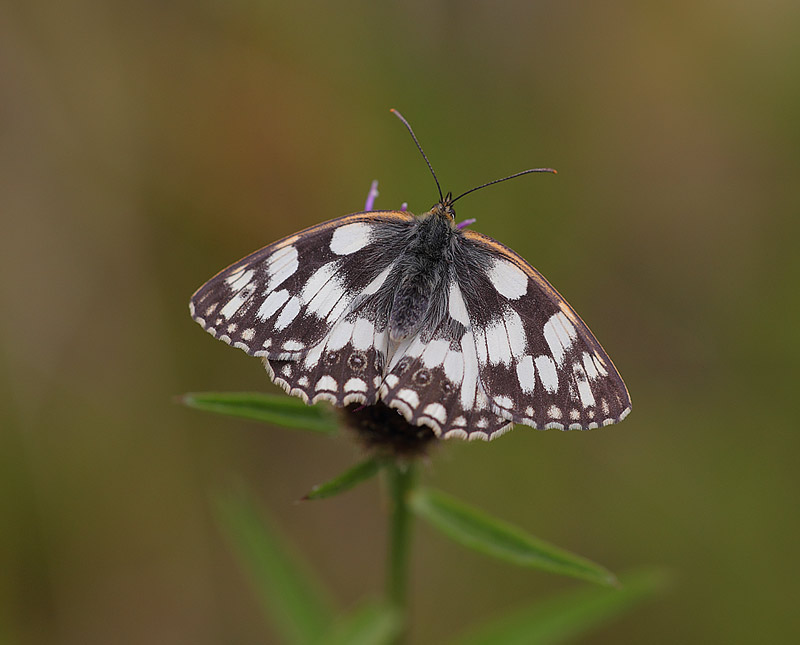Marbled-White-11192969