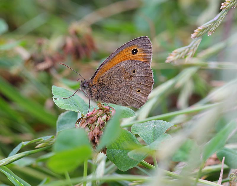Meadow-Brown-09862958