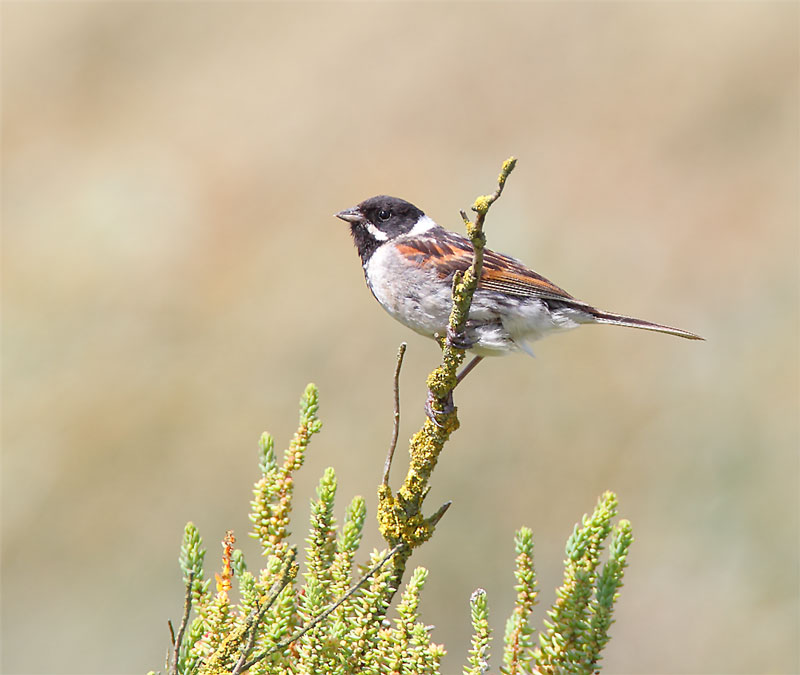 Reed-Bunting-14603040